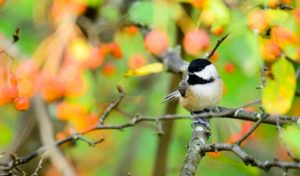 how to attract chickadees