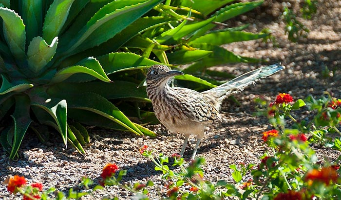 how to attract roadrunners