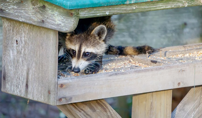 how to keep raccoons away from bird feeders