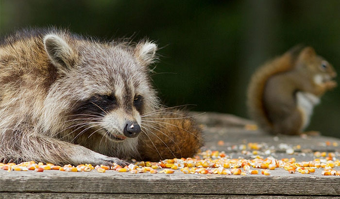 things that draw raccoons to bird feeders