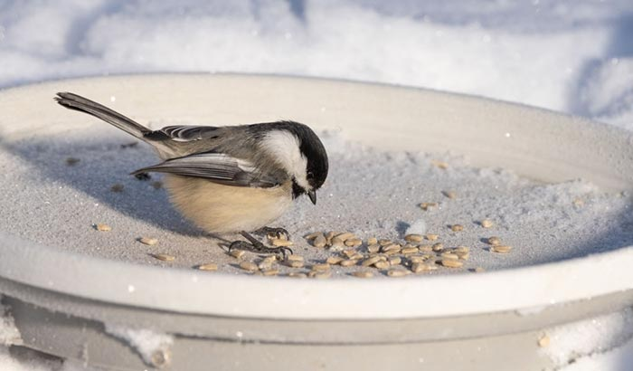 what is special about chickadees