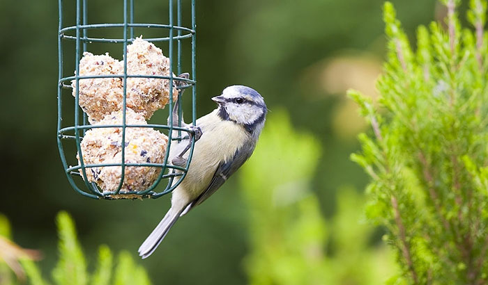 what to do if birds are not coming to your suet feeders