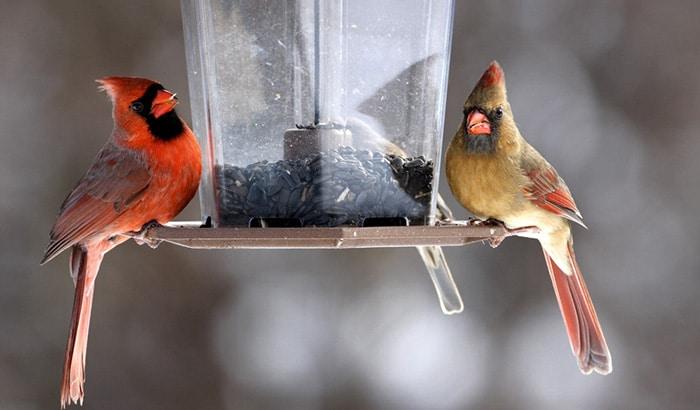 best cardinal bird feeder