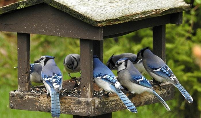 best feeder for blue jays