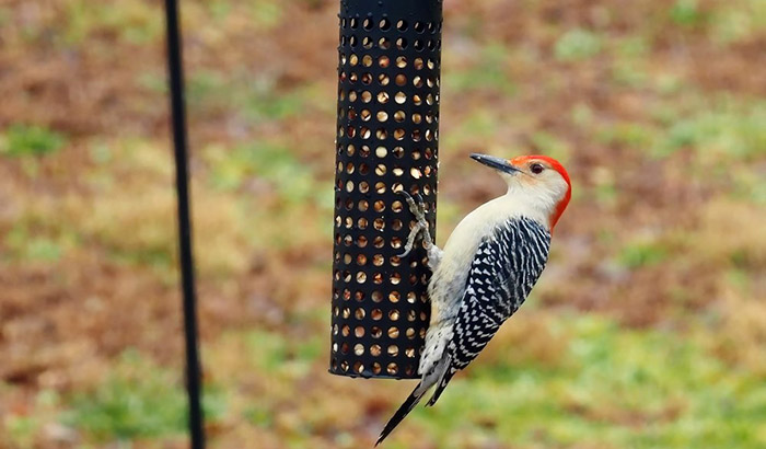 suet feeder for woodpeckers