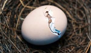 how to hatch a bird egg