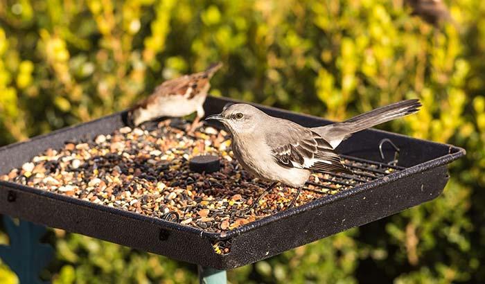 attracting mockingbirds to your garden