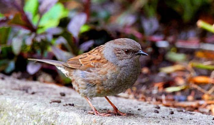 birds eat rocks in aid of digestion