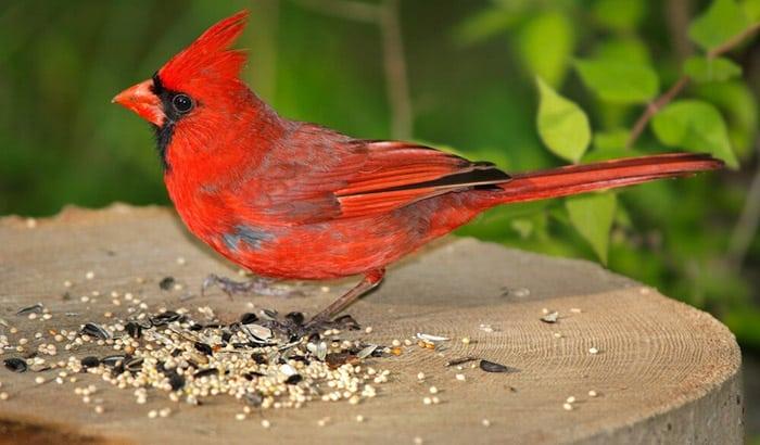 cardinals birds food