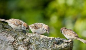 why do birds eat rocks