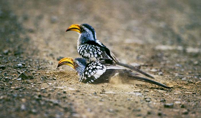 why do birds roll in dirt
